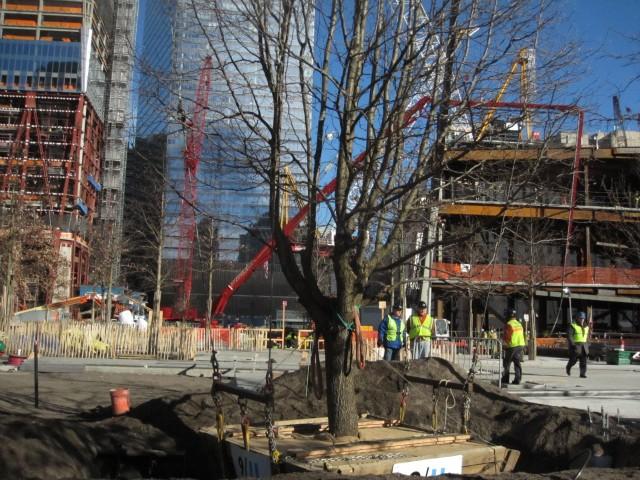 Risultati immagini per survivor tree ground zero