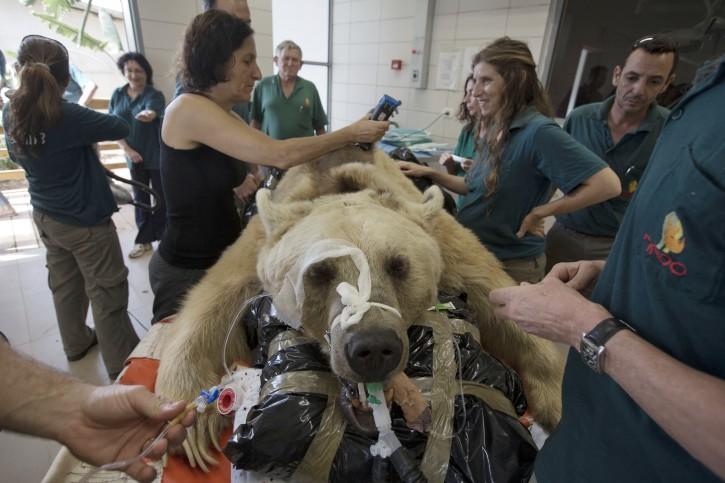 Tel Aviv Bear In Israel Undergoes Surgery To Repair Disc