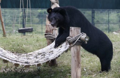 FILE -  Black bear.