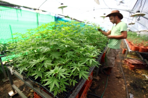 FILE - A worker tends to cannabis plants at a growing facility for the Tikun Olam company near the northern city of Safed, Israel August 31, 2010. Flash90