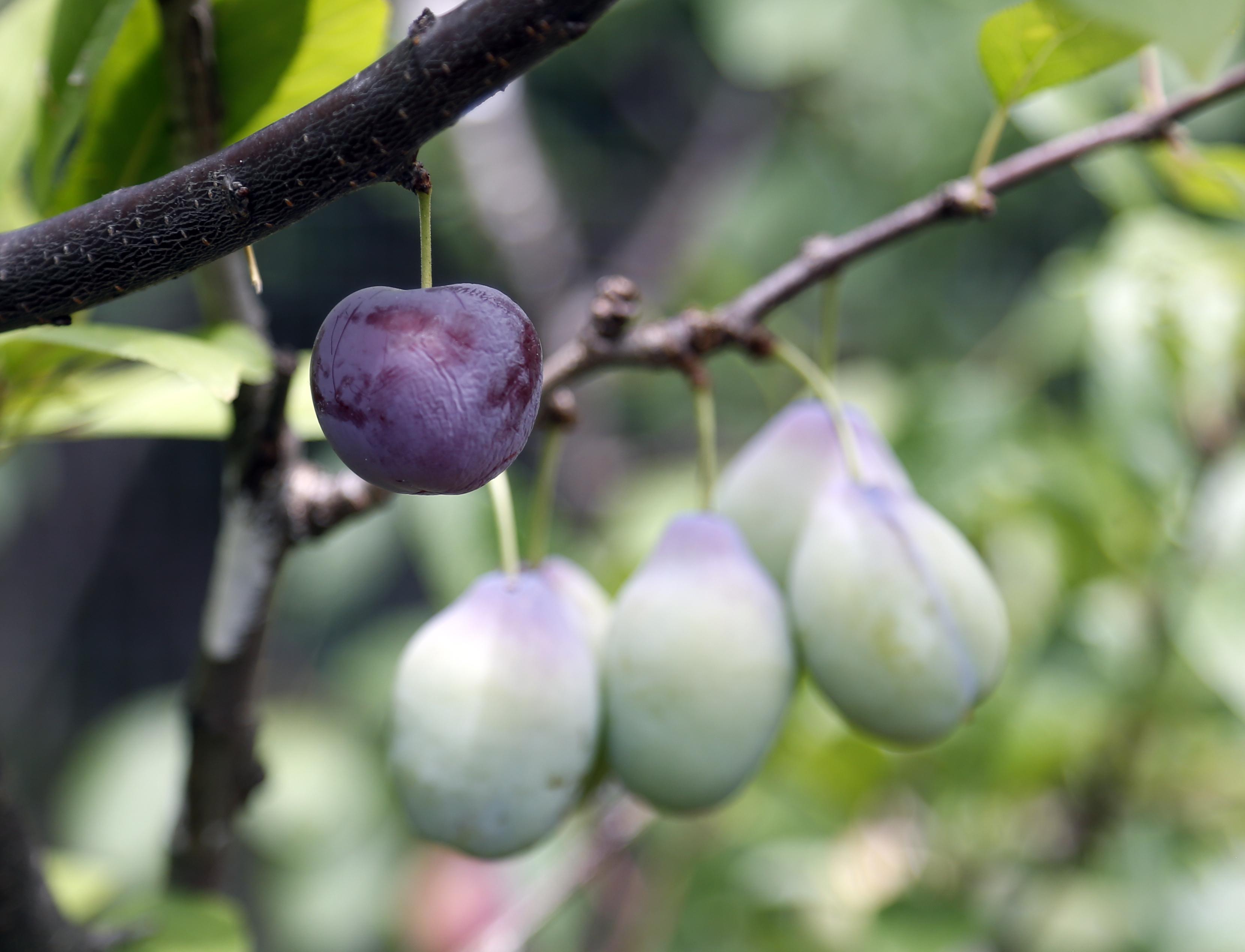 Syracuse ny tree pluribus unum many fruits stem from artists 39 grafts - Graft plum tree tips ...