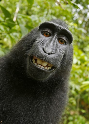 New York – PETA Sues To Give Monkey The Copyright Of Selfie Photos