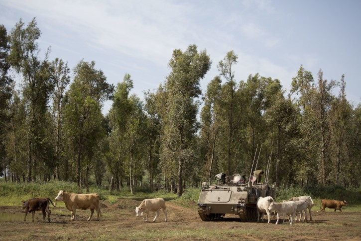 In this Thursday, April 21, 2016 photo, Cattle graze by an Israeli military APC in the Israeli controlled Golan Heights near the border with Syria. The small brotherhood of about 100 cowboys who are responsible for raising the primary source of Israeli domestic beef know well they face a particular set of unique challenges. For starters, they operate on a relatively small patch of land made up mostly nature reserves and military grounds so everything they do has to be coordinated with authorities. Israel captured Golan from Syria in the 1967 war. (AP Photo/Ariel Schalit)