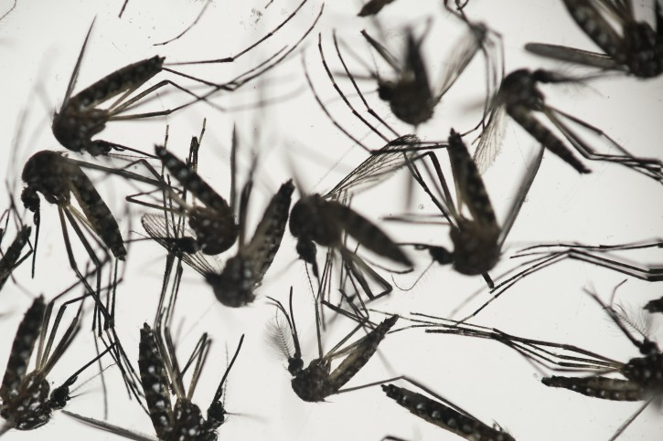 FILE - In this Jan. 27, 2016, file photo, samples of Aedes aegypti mosquitoes, responsible for transmitting dengue and Zika, sit in a petri dish at the Fiocruz Institute in Recife, Pernambuco state, Brazil. Health officials are trying to unravel how a relative may have picked up a Zika infection from a Utah man who died. Disease detectives are investigating the possibility that the relative somehow caught it while caring for the elderly man at a home and in a hospital. On Monday, July 18, they said the male relative had developed a mild Zika illness and quickly recovered. (AP Photo/Felipe Dana, File)